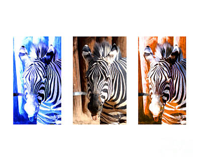 Of Zebras Photograph - The Three Zebras White Borders by Rebecca Margraf