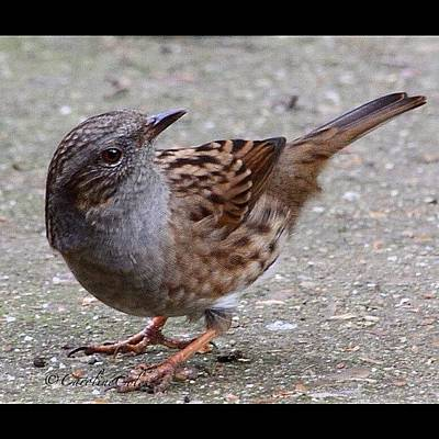Ornithology Photograph - The Understated Hedge Sparrow by Caroline Coles