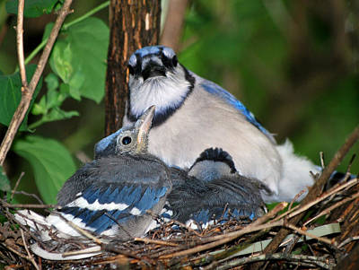 Blue Jay Photograph - The Watcher by Rose Pasquarelli