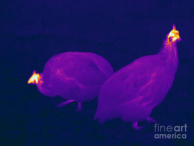 Thermographic Photograph - Thermogram Of Guineafowl by Ted Kinsman