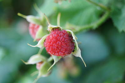 Photograph - Thimble Berry by Angi Parks