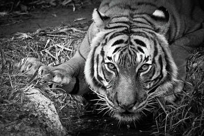 Photograph - Thirsty Tiger by James Woody