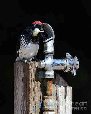 Photograph - Thirsty Woodpecker . 40d9079 . Vertical Cut by Wingsdomain Art and Photography