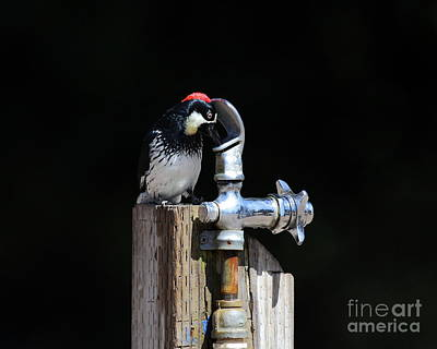 Photograph - Thirsty Woodpecker . 40d9079 by Wingsdomain Art and Photography