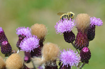 Photograph - Thistle And Bee by Gene Sherrill