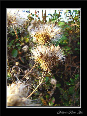 Photograph - Thistle  by Debbie Portwood