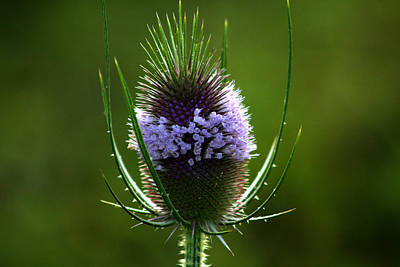 Photograph - Thistle Flower by Emanuel Tanjala