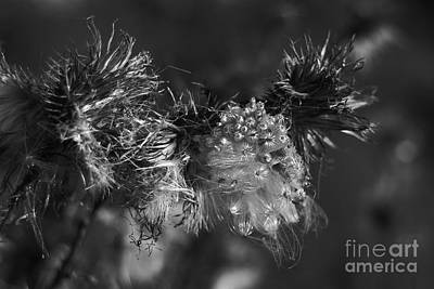 Thistle Seeds Art Print