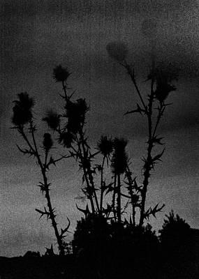 Thistles Print by Hakon Soreide