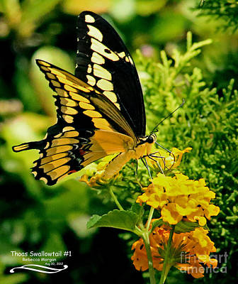 Papilio Thoas Photograph - Thoas Swallowtail #1 by Rebecca Morgan