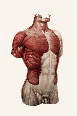 Thoracic And Abdominal Muscle Art Print