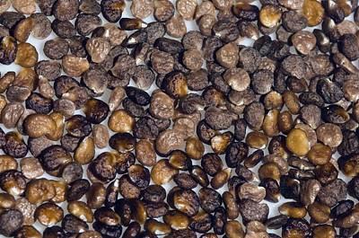 Jimson Photograph - Thorn Apple (datura Stramonium) Seeds by Georgette Douwma