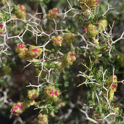 Photograph - Thorny Burnet Or Sarcopoterium Spinosum by Paul Cowan