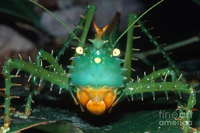 Photograph - Thorny Devil Katydid P Cuspidatus by Dante Fenolio