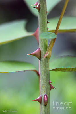 Photograph - Thorny Stem by Todd Blanchard