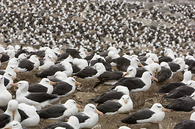 Jason Day Photograph - Thousands Of Black-browed Albatrosses by Tom Murphy