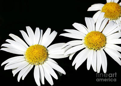 Photograph - Three Amigo Daisies by Sabrina L Ryan