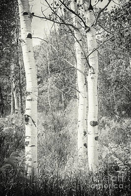 Photograph - Three Aspen Trees by David Waldrop