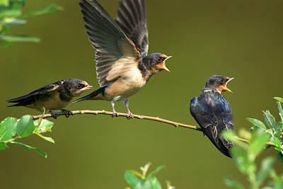 Three Barn Swallow Fledglings Begging Art Print by Darlyne A. Murawski