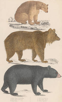 Sitting Bear  - Three Bears by Hulton Archive