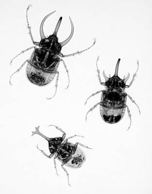 Rhinoceros Photograph - Three Beetles X-ray by Ted Kinsman