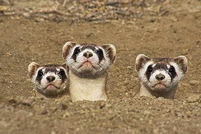Three Black-footed Ferrets In Burrow Art Print by Wendy Shattil and Bob Rozinski