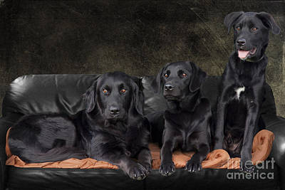 Photograph - Three Black Labradors by Ethiriel  Photography