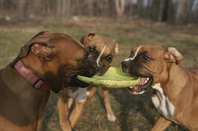 Three Boxer Dogs Play Tug-of-war Art Print by Roy Gumpel