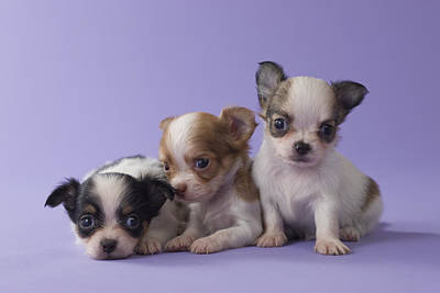 Y120817 Photograph - Three Chihuahua Puppies by Mixa
