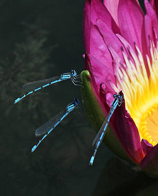 Becky Photograph - Three Damselflies On Pink Waterlily by Becky Lodes
