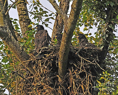 Photograph - Three Eaglets by Jack Moskovita