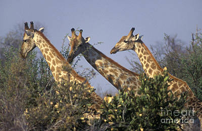 Art Print featuring the photograph Three Friends - Savuti Marsh Botswana by Craig Lovell