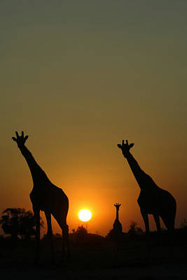 Three Giraffes Stand At Sunset Print by Beverly Joubert