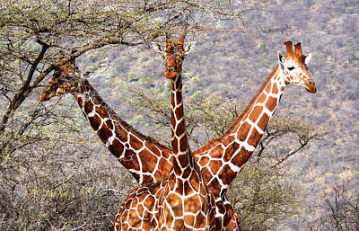 Photograph - Three Headed Giraffe by Tony Murtagh