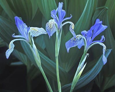 Photograph - Three Iris by Joe  Palermo
