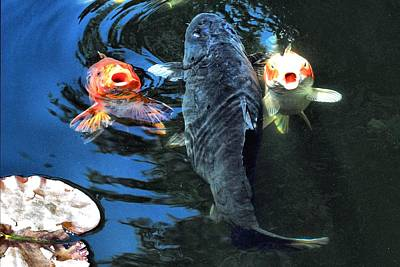 Koi Photograph - Three Is Crowd by Don Mann