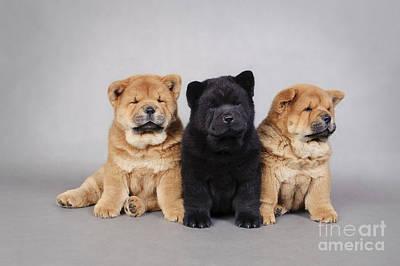 Newfoundland Puppy Photograph - Three Little Chow Chow  Puppies Portrait by Waldek Dabrowski
