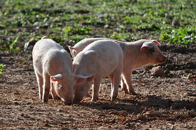 Three Little Pigs Art Print by Tammy Price