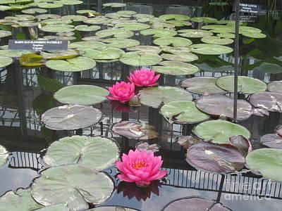 Three Pink Water Lilies Art Print by Portia Petty