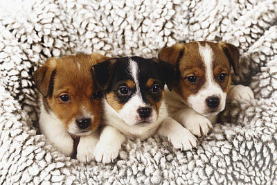 Pet Care Photograph - Three Puppies Gathered Together In A Snowy Fleece by Andrew Bret Wallis