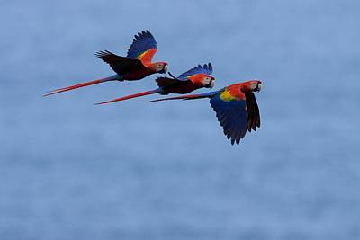 Osa Wall Art - Photograph - Three Scarlet Macaws In by Roy Toft