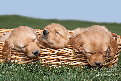 Three Sleeping Puppy Dogs In Basket Art Print by Cindy Singleton