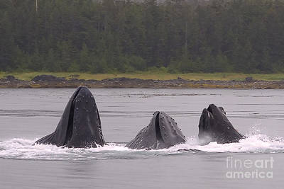 Frenzy Photograph - Three Whales Feeding by Darcy Michaelchuk
