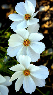 Photograph - Three White Flowers by Steve McKinzie