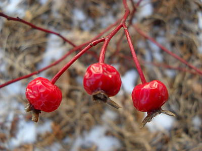 Photograph - Three Wild Rose Hips by Kent Lorentzen