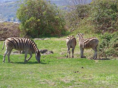 Columbia River Photograph - Three Zebras by Charles Robinson