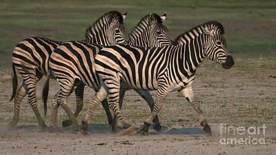 Photograph - Three Zebras by Mareko Marciniak