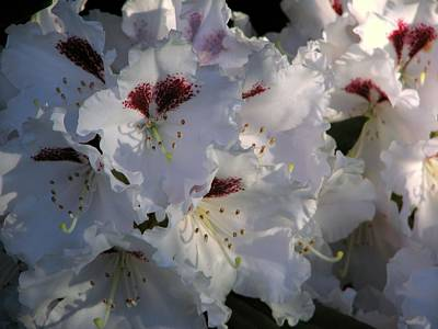 Rhodies Photograph - Tiana Details by Chris Anderson