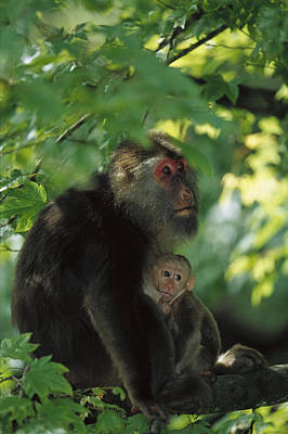 Tibetan Macaque Nursing Baby Art Print by Cyril Ruoso