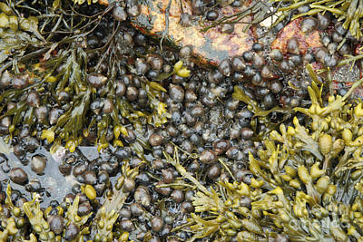 Tidal Pool With Rockweed Art Print by Ted Kinsman